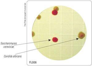 Фото HiMedia FL006-50РТ Бакпечатки HiTouch для подсчета дрожжевых и плесеневых грибов (50 чашек d 55 мм)